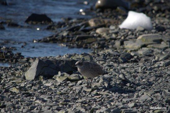 Antarctic bird